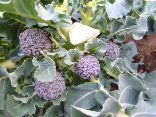 ブロッコリーの脇芽